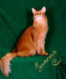 Supreme Grand Champion Alter Imzadi's Hemingway of Jwhiskers