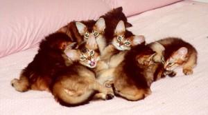 Somali kittens